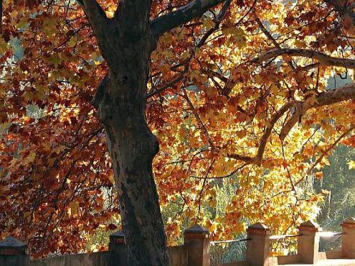 Platane im Herbst