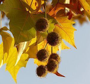 Blätter der ahornblättrigen Platane