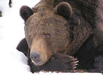Bärenjagd
