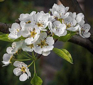 Birnbaum Blüte