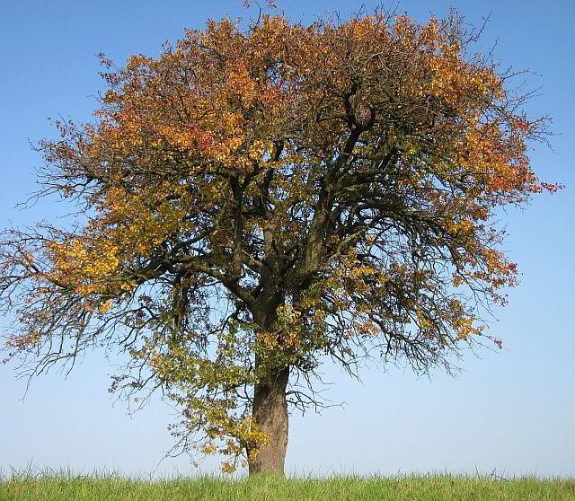 Der Birnbaum