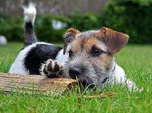 Hund: Terrier auf Wiese