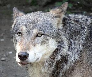Ich war der Wolf