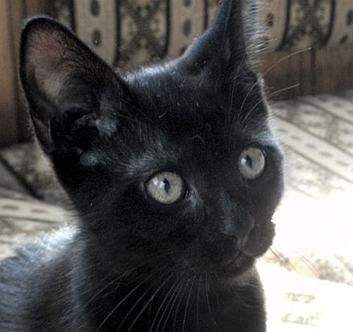 Katzenbaby schwarze Katze