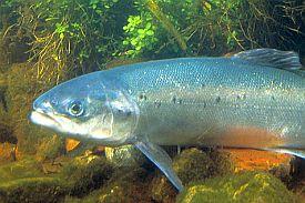 Krafttier Lachs