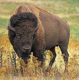 Krafttier Büffel