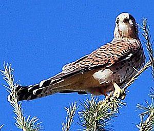 Krafttier Falke: Turmfalke