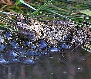 Krafttier Frosch Froschlaich