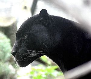 Krafttier Panther