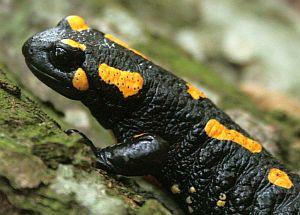 Krafttier Salamander