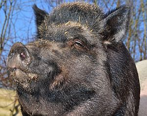 Krafttier Schwein. Bedeutung und Symbolik