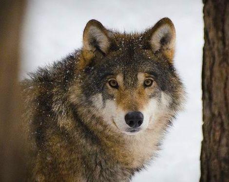 Krafttier Wolf: Ein Blick in die Augen des Wolfes