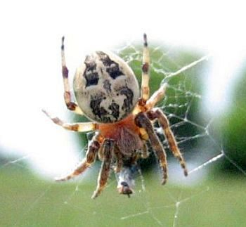 Krafttier Spinne: Die Kreuzspinne