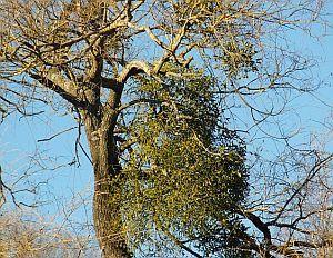 Baum mit Mistelstrauch