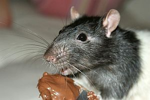 Krafttier Ratte