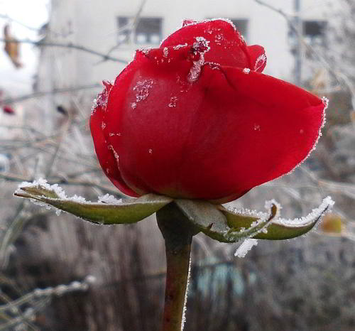 Rosenwinter: Rose im Winter