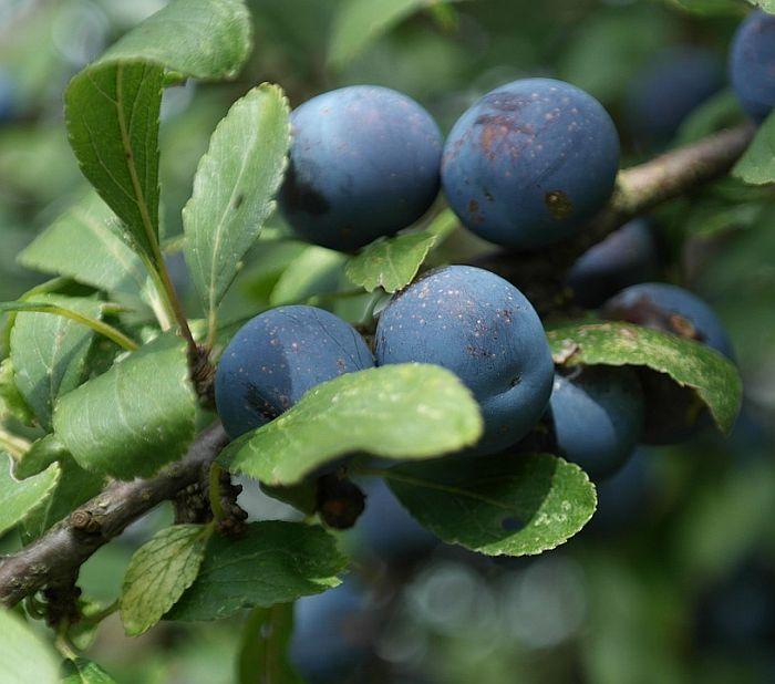 Schlehdornfrucht