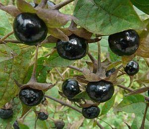 Mehrere schwarze Tollkirschen