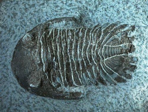 Trilobiten gepanzerte Schalentiere