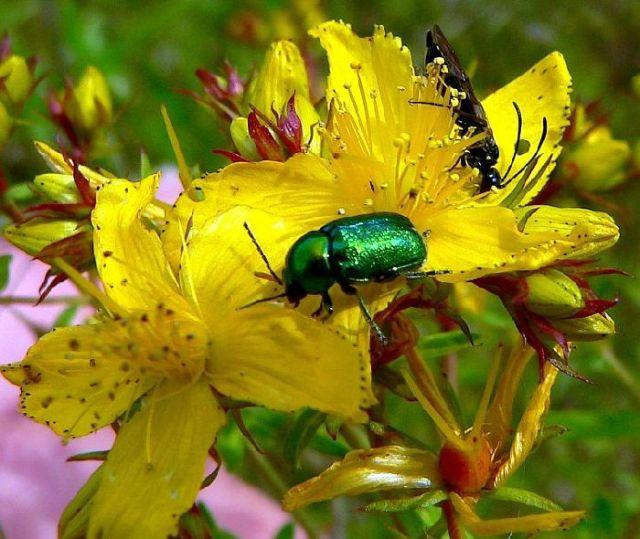 Käfer im Garten