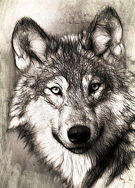 Zeichnung eines Wolfes