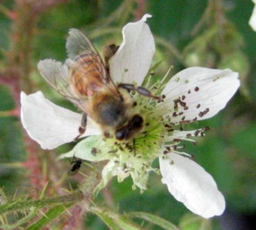Biene im Sommer: Bienenweiden pflanzen