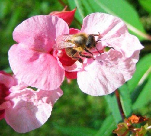 Mein Garten: Biene im Sommer