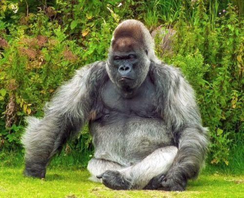 Friedlicher Gorilla in der Natur