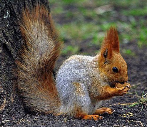 Eichhörnchen am Nussbaum